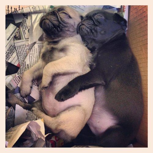 """Bắt chước các em cún đáng yêu """"phơi bụng"""" cho mát"""