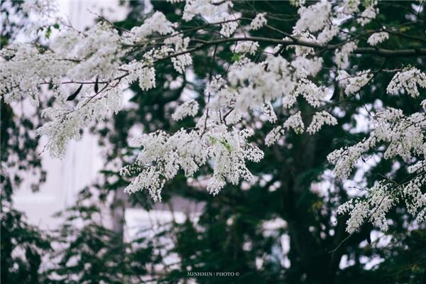 Hà Nội đẹp dịu dàng với những mùa hoa gọi hè về