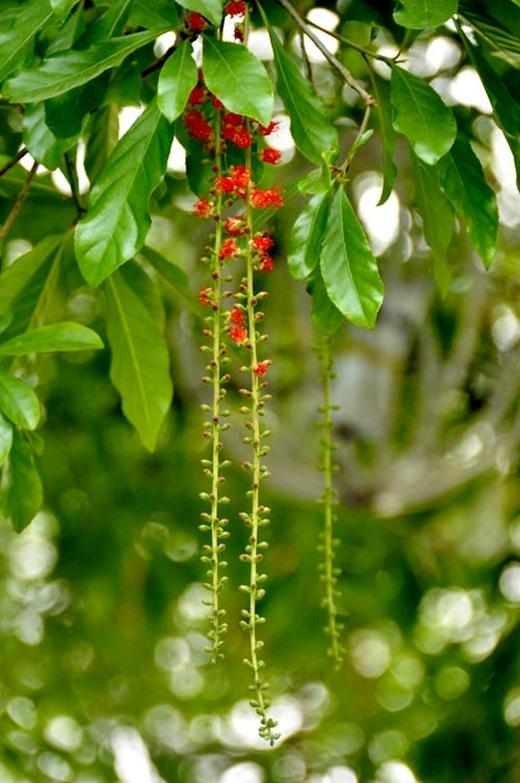 Hoa lộc vừng một năm chỉ nở đúng 2 lần, loài hoa đỏ rực này lại mang mộtnỗi buồn manmác.(Ảnh: Internet)