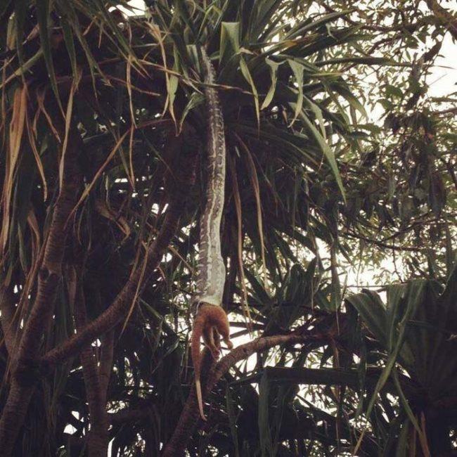 Con rắn đang thưởng thức con mồi của mình. (Ảnh: Internet)