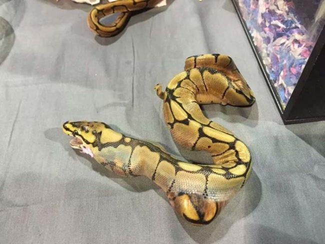 Đây là cảnh tượng kinh khủng khi rắn đã hoàn toàn nuốt trọn con mồi.(Ảnh: Internet)