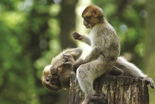 Cánh rừng ngập mặn nguyên sơ với hơn 1.000 chú khỉ tinh ranh, láu cá là một trong những điểm hấp dẫn lớn nhất của Cần Giờ.(Ảnh: Internet)