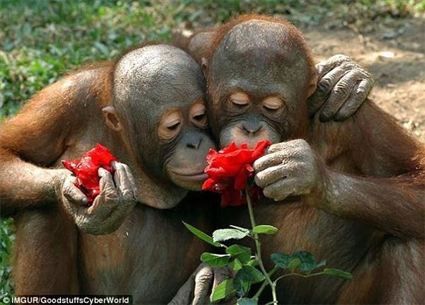 Hai chú khỉ này thích thú với bông hoa mà chúng tình cờ gặp trên đường đến mức một chú đã hái cánh hoa về. (Ảnh: Internet)