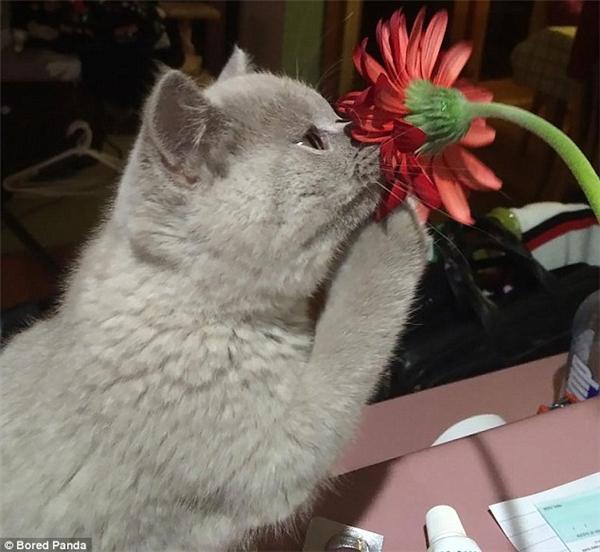 Chú mèo xám này còn lấy chân trước kéo bông hoa xuống gần mũi để ngửi cho rõ hơn. (Ảnh: Internet)