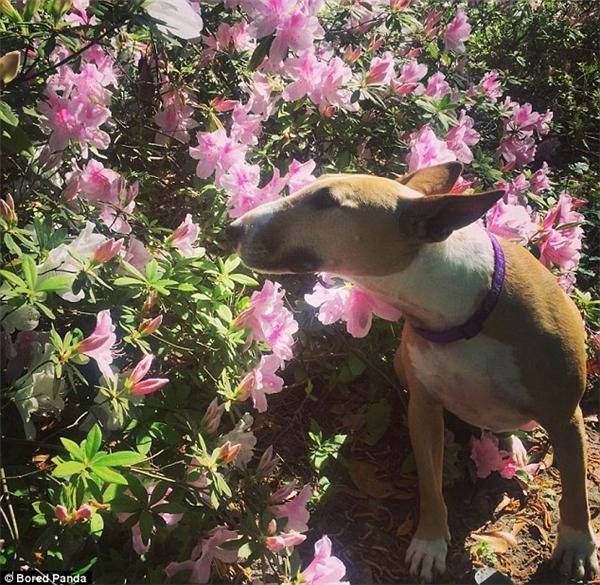 Chú chó bull terrier này trong lúc đi dạo thì gặp vườn hoa phong lữ đẹp đến không thể không dừng bước. Tuy nhiên các chuyên gia cũng xin có lời cảnh báo rằng loài hoa này có thể gây hại cho sức khỏe thú cưng. (Ảnh: Internet)