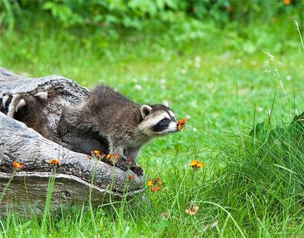 Những chú gấu trúc BắcMỹnhút nhát cũng chủ động chui ra khỏi hang để hít ngửi hương thơm hoa đồng gió nội. (Ảnh: Internet)