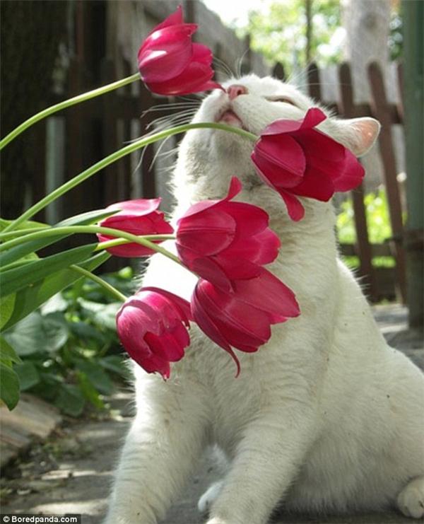 """Ngửi được hương thơm của hoa tulip thế này thì thật là sung sướng cuộc đời. Chỉ cần nhìn vẻ mặt... """"phê phê"""" của em mèo này là biết ngay. (Ảnh: Internet)"""