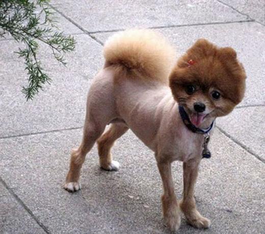 Vì chỉ chừa lông phần đầu nên nhìn từ xa, chú chó này không khác gì đang đội một chiếc mũ vậy. (Ảnh: Internet)