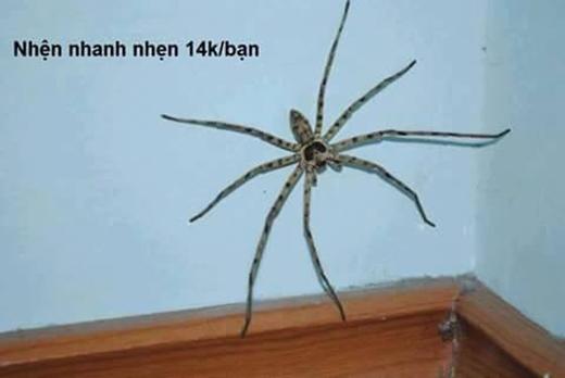 """Khỏi phải nói thì ai chân dài cũng được yêu thích vì vẻ đẹp trời phú đó rồi, kể cả trong giới động vật. Cô nhện này không những có """"nhiều"""" chân vừa dài vừa thon thả, bên cạnh đó còn cực kì nhanh nhẹn, chắc chắn sẽ làm cho bạn yêu thích không thôi.(Ảnh: Internet)"""