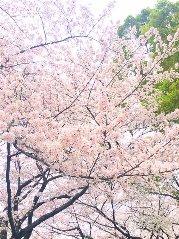 Mật độ của những cây anh đào ở Nhật Bản dày đặc hơn Hàn Quốc. (Ảnh: Diệu Bình)