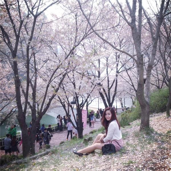 Còn hoa anh đào Hàn Quốc có màu hồng phớt hoặc trắng. (Ảnh: Diệu Bình)