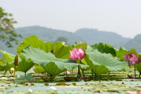 Hồ Quan Sơn hùng vĩ bỗng nên thơ, đẹp mơ màng mùa sen nở. (Ảnh: Internet)