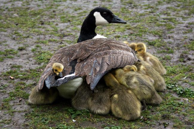 Chim mẹ không bỏ con nếu ngửi thấy mùi tay người. Thật ra khứu giác của loài chim là rất tệ, chúng sẽ không phát hiện ra mùi lạ trên người chim con. Tuy nhiên không vì thế mà chúng ta bên bắt chim con để đùa giỡn.