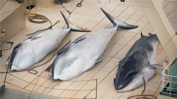 Hàng loạt cá voi bị săn bắt. (Ảnh: Internet)
