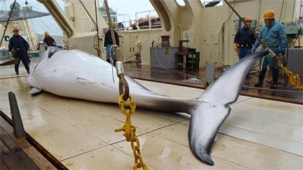 Cá voi sau khi được săn bắt sẽ được tiến hành đo đạc, nghiên cứu. (Ảnh: Internet)