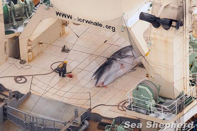 Cận cảnh giết cá voi. (Ảnh: Internet)