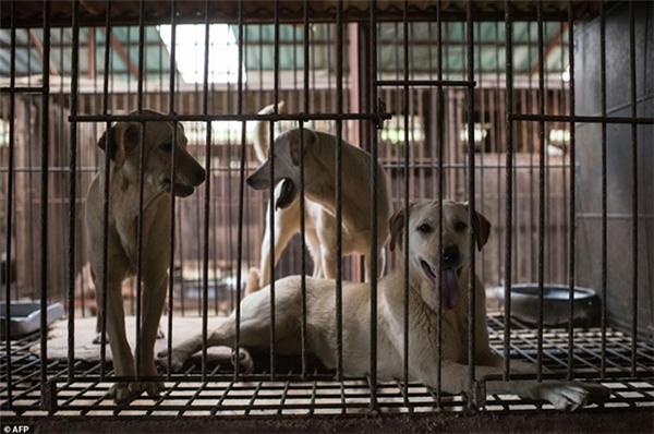 Trả lời với trang Daily Mail, ông Gong In Young, chủ cũ của trang trại này cho biến đa phần chó ở đây đều được nhập từ Mỹ và Canada về.