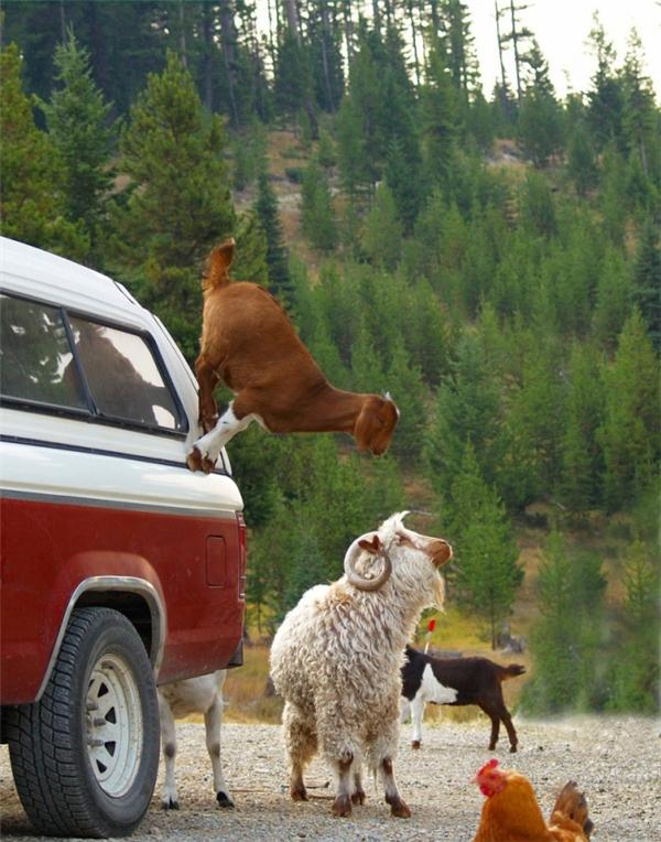 Có thể khẳng định dê núi chính là loài động vật không chịu sự chi phối của trọng lực. (Ảnh: weixinyidu)
