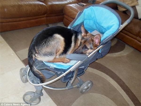 Nó cũng hay nhảy vào xe đẩy của Kayden để ngủ, mặc dù giờ đây có vẻ như nó đã quá khổ mất rồi. (Ảnh: Internet)