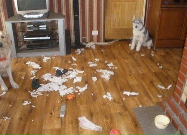 Husky là bạn xấu, lôi kéo cả bé Golden làm