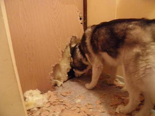 Hãy rút kinh nghiệm, tất cả các cửa trong nhà đều phải gắn cửa cho chó. (Ảnh: Internet)