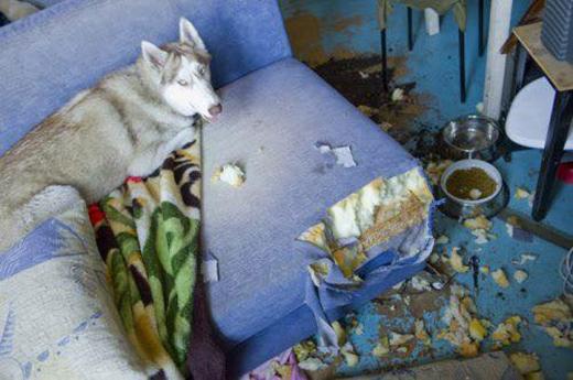 Khi Husky thể hiện tình thương mến thương với chủ