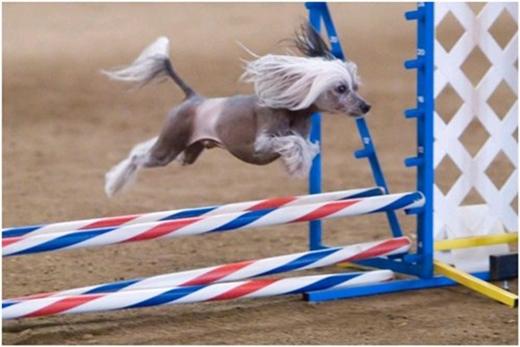 Chó Tàu có màuhầu như luôn giành giải chó xấu xí nhất hành tinh trong các cuộc thi sắc đẹp dành cho chó. (Ảnh: Internet)