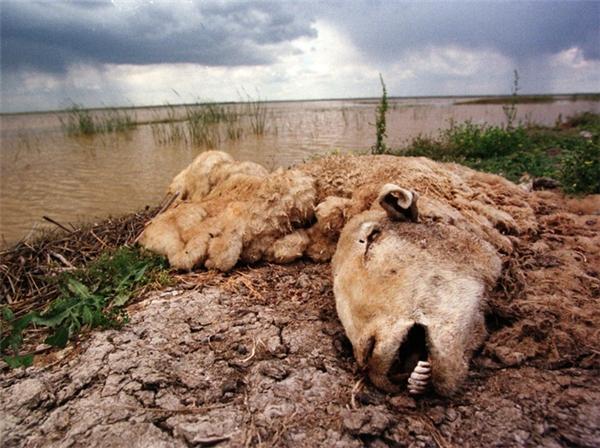 Một con cừu đực đã chết và đang phân hủy tại công viên Quốc gia Donana, Tây Ban Nha 1 tuần sau vụ tràn 5 triệu mét khối chất thải axit từ mỏ khai thác gần đó. Vụ việc đã thiêu rụi và giết chết toàn bộ cây cối, thảm thực vật trong khu vực. Bức ảnh được chụp vào 2/5/1998.