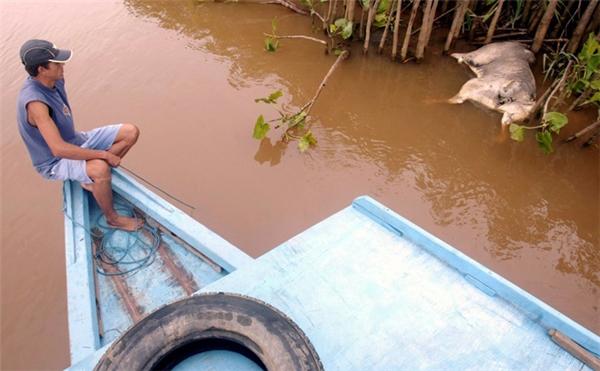 Một ngư dân Brazil đang nhìn xác con trâu bên bờ sông Paraiba do Sul, phía Bắc Rio de Janeiro vào ngày 8/4/2003. 320 triệu gallon chất thải độc hại xả ra từ một nhà máy đã làm nhiễm độc nguồn nước của 7 thành phố tại Minas Gerais và cả khu vực lân cận của Rio de Janeiro.