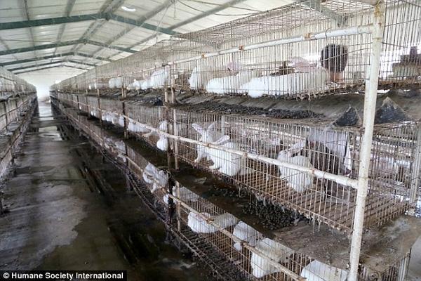 Bên trong nơi chăn nuôi thỏ ở lò mổ của Trung Quốc.