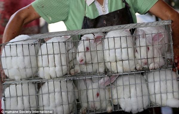 """Những con thỏ bất lực bị con người đem đi """"xử tử""""."""