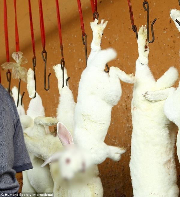 Những con thỏ bị cắt cổ trước khi lột da.