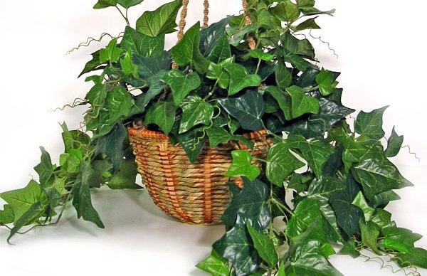 Thường Xuân có khả nănghấp thụ mạnh mẽformaldehyde.(Ảnh: Internet)