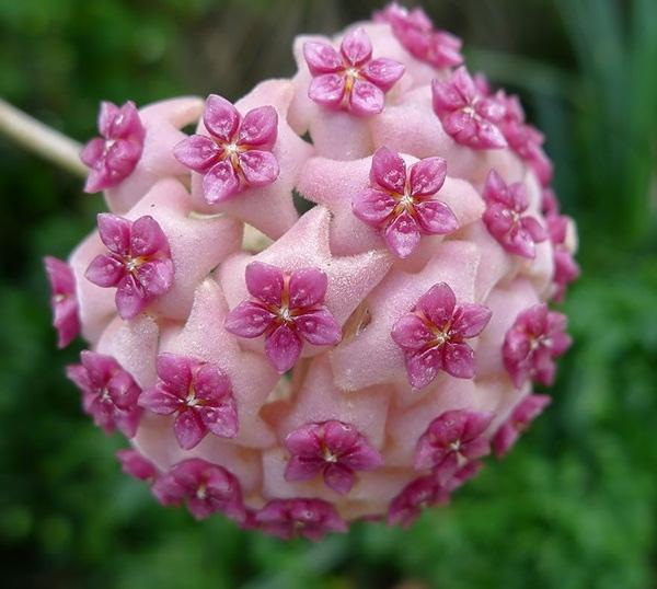 8. Hoa cẩm cù (Hoya Aldrichii) có màu hồng và những bông hoa nhỏ phía trên.