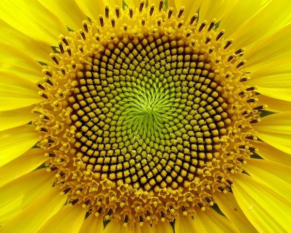 10. Cận cảnh bông hoa hướng dương màu vàng rực rỡ.