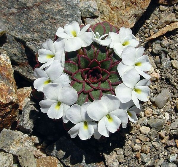 14. Hoa Viola Sacculus.