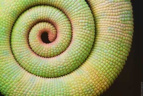 19. Cây đuôi tắc kè hoa (Chameleon Tail) với hình xoắn ốc ấn tượng.