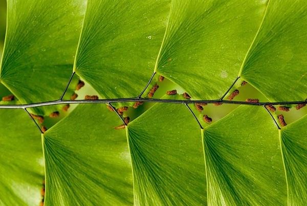20. Cây lá bậc thang (Leaf Ladder) với những chiếc lá màu xanh xếp xen kẽ trông thật ấn tượng.