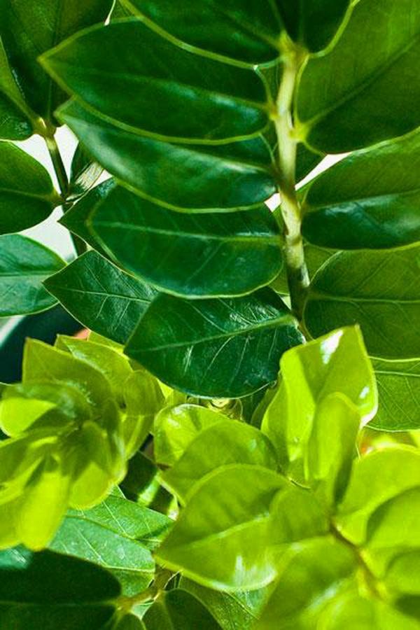 Những chiếc lá mọc thành từng cặp xung quanh cuốn lá, mỗi cuốn lá lại gồm 5-8 cặp lá dày, chiều dài từ 5-15 cm, chiều rộng từ 1,5-5 cm, hình elip. Lá kim phát tài có màu xanh đậm sáng bóng, mịn màng và cũng mọng nước.