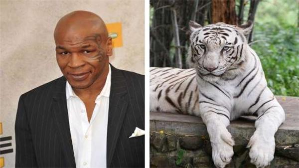 Mike Tyson từng mua 3 con hổ trắng Bengal quý hiếm làm thú nuôi, với giá 70.000 đô (1,5 tỷ đồng) mỗi con, cộng với đó là 200.000 đô (4,4 tỷ đồng) tiền thức ăn mỗi năm, và 125.000 đô (2,7 tỷ đồng) phí huấn luyện.