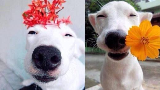 """Truy tìm chú chó """"đẹp hơn hoa"""" gây sốt cộng đồng mạng"""