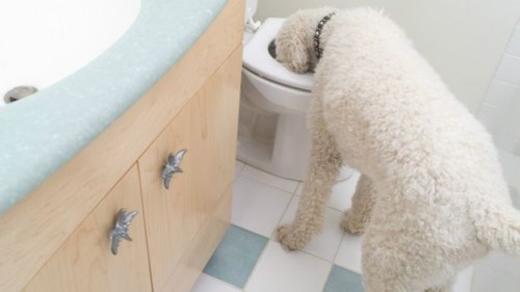 Nước trong toilet vẫn đủ sạch cho một chú chó.