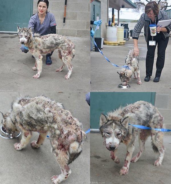 Chú chó khốn khổ trong tình trạng hết sức tồi tệ. (Ảnh: Internet)
