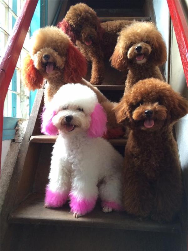 Đàn chó poodle được anh Chinh chăm sóc từ hơn 1 năm nay. (Ảnh: NVCC)