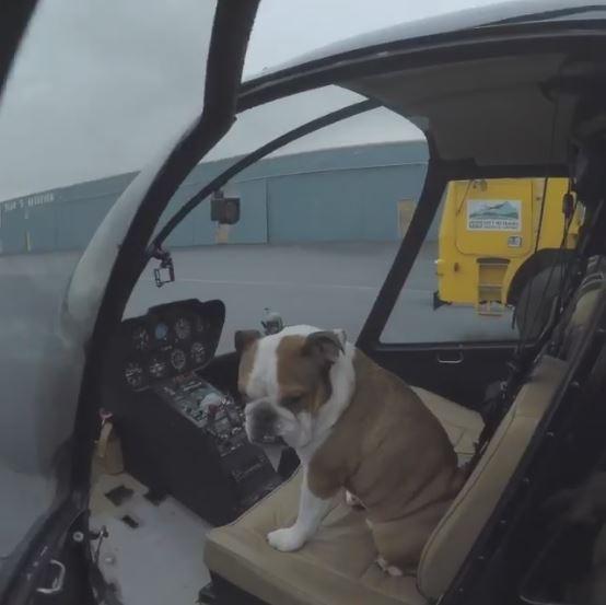 Phát hờn với cuộc sống sang chảnh của chú chó Bulldog