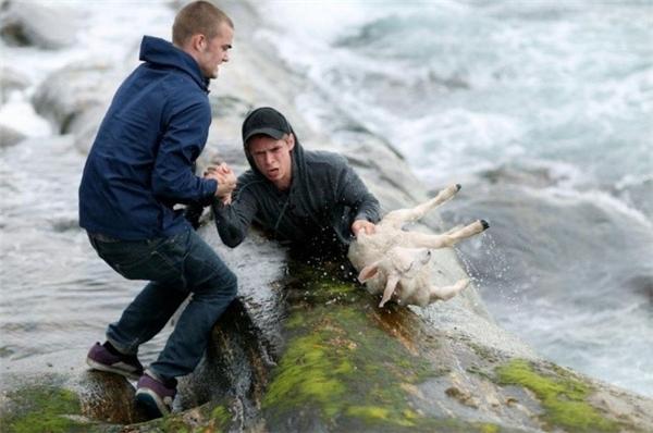 Hai chàng trai người Na Uy bất chấp nguy hiểm cứu một chú cừu khỏi chết đuối.