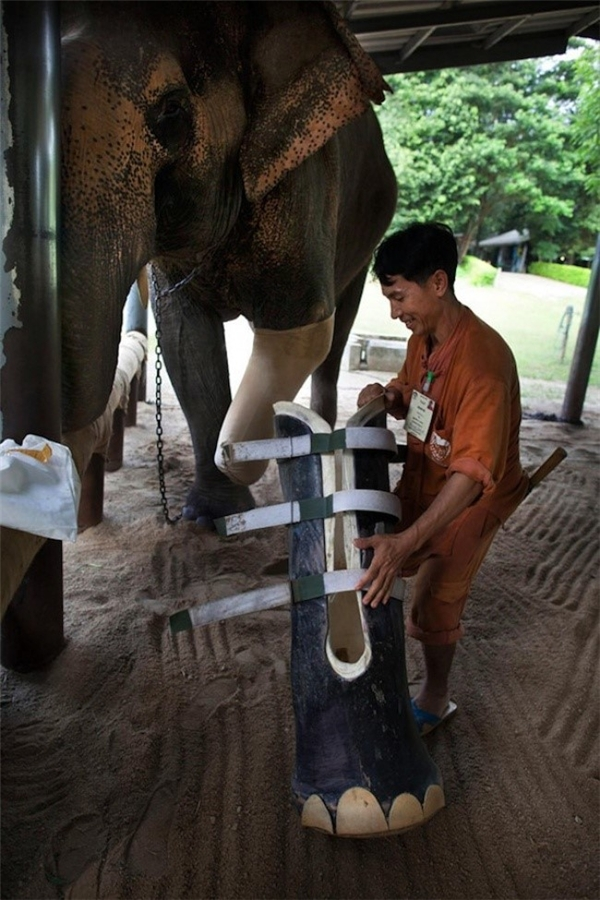 Chú voi sống tại Thái Lan được lắp chân giả thay thế chân trái đã mất do bom mìn.