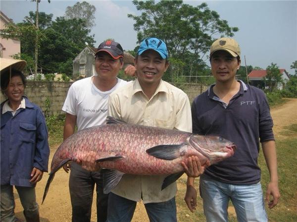 Được biết con cá này nặng tới 35,7kg, do người dân ở Nghệ An câu được. (Ảnh: Internet)
