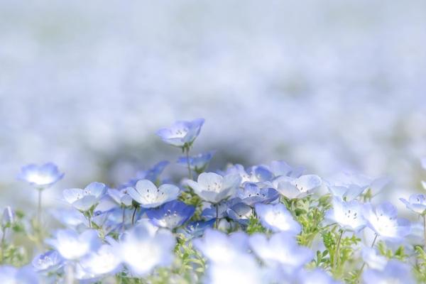Người ta bảo loài hoa này nhỏ xinh và có màu xanh biếc, trong veo tựa như mắt của trẻ nhỏ.