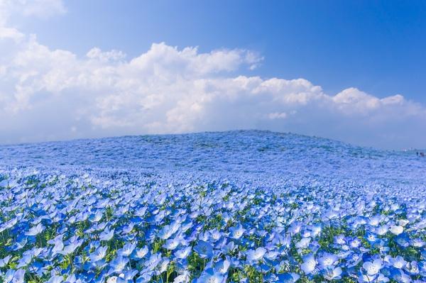 Vẻ đẹp của hàng triệu bông hoa cùng đua nở khiến người nhìn phải tan chảy.